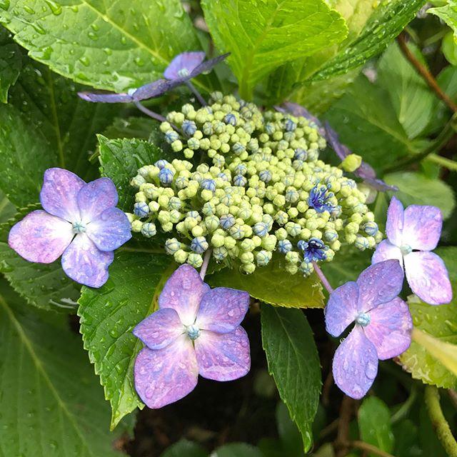 紫陽花がキレイ。朝採れ野菜の季節 (Instagram)