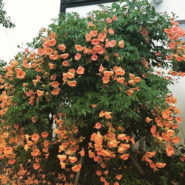 夏に咲く好きな花。そういえば、今年の視力検査は両目1.2でした。乱視はあれどもどんどん良くなります。老眼まっしぐら? (Instagram)