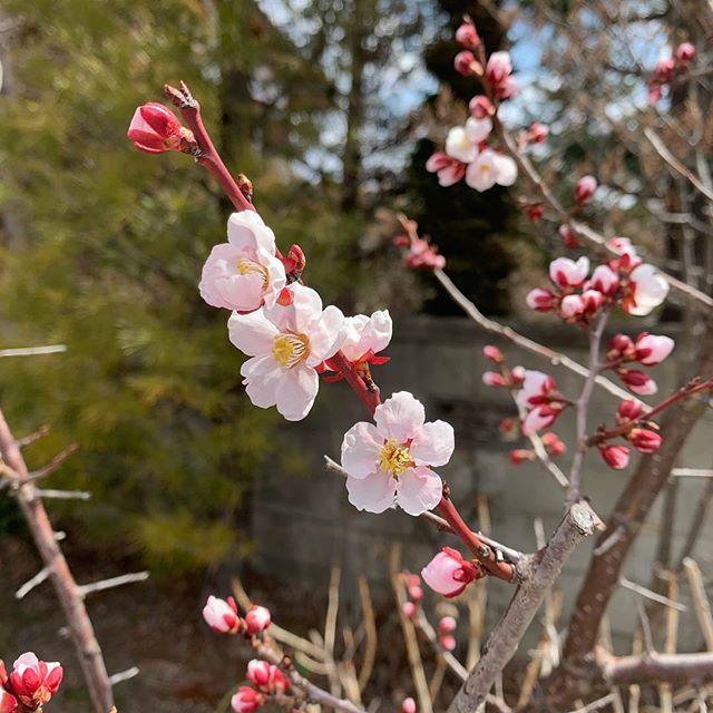 こちら梅が咲き始めました (Instagram)