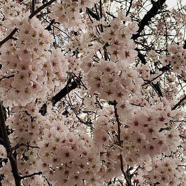 見事にボンボン咲いている桜の木に出会えた! (Instagram)